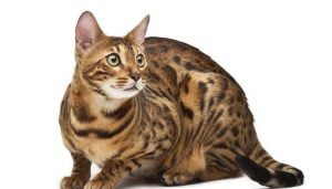 Características de los gatos Tabby