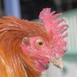 Consejos para los acaros del pollo
