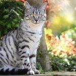 Cuidados del gato atigrado