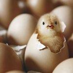 Como incubar pollitos y aves