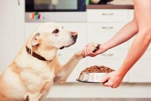 La Alimentación de los Labradores Retriever