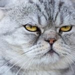 Dominar gatos macho alfa