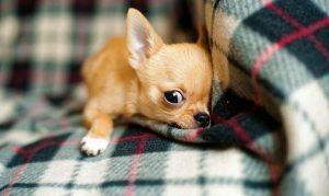 Consejos de estreñimiento en el Chihuahua