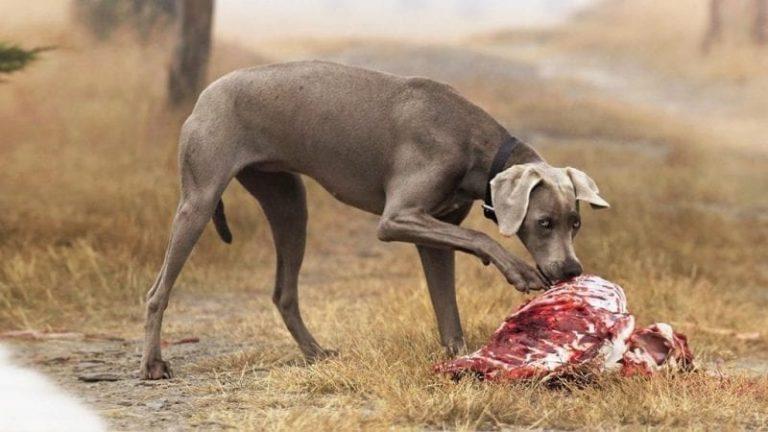 Alimentar con vísceras a su perro