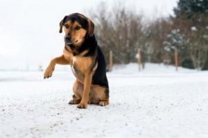 Consejos cuando un perro cojea