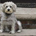 Caracteristicas del caniche Schnoodle