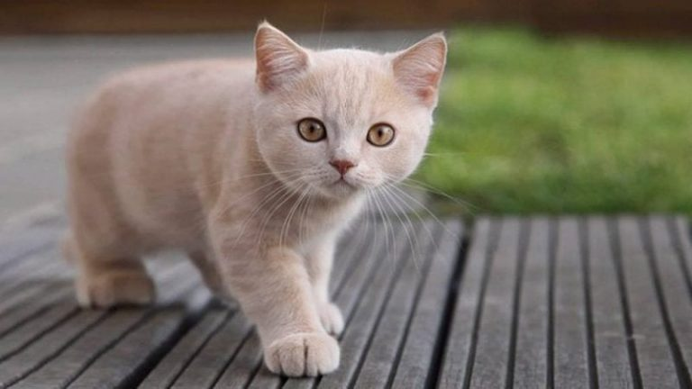 Caminata de gatos en círculos