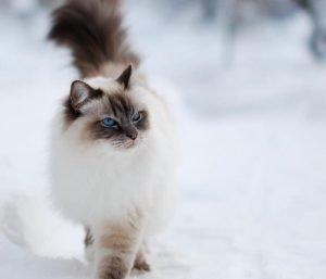 Como diferenciar gatos Siameses y el gato Himalaya