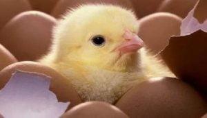 Consejos para la incubación de los huevos de gallinas