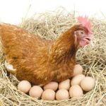 Consejos de huevos en gallinas atascado