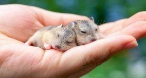 Cuidados con un hámster recién nacido