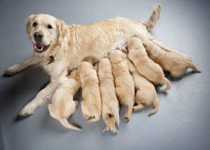 Como ayudar a tu perra cuando están por llegar sus cachorros
