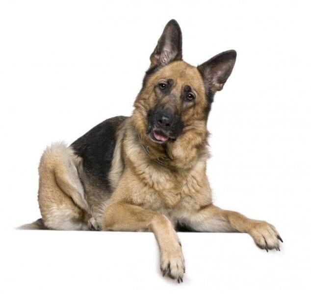 Enfermedad en perros Pastores Alemanes
