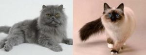 Diferencias entre gatos siameses y persas