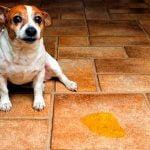 Cómo hacer con los perros machos para que no marquen territorio en interiores