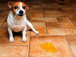 Cómo hacer que los perros machos no marquen territorio en interiores
