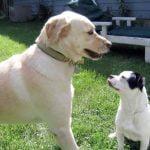 Como adaptar un segundo perro al hogar
