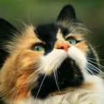 Caracteristicas del gato Calico