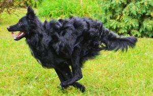 El perro Mudi