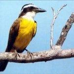 Un pájaro muy conocido, el benteveo