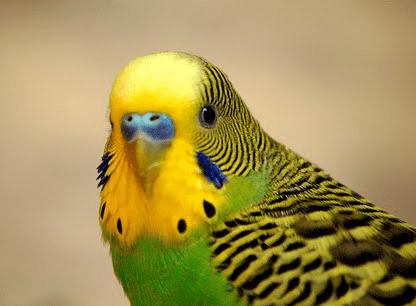 Enfermedades comunes de los pericos australianos