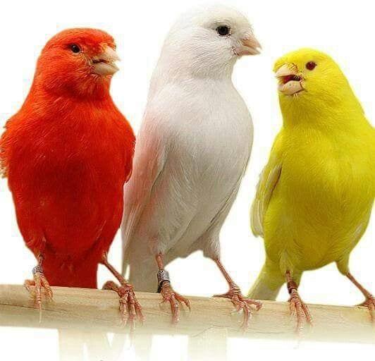 Los canarios como mascotas