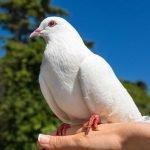 Tener a una paloma de mascota